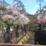 29高山桜